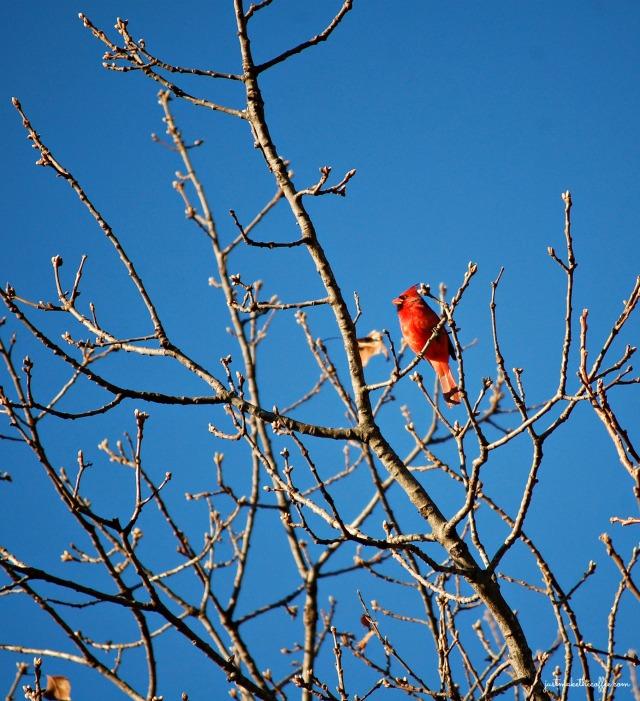 Jan2 Cardinal