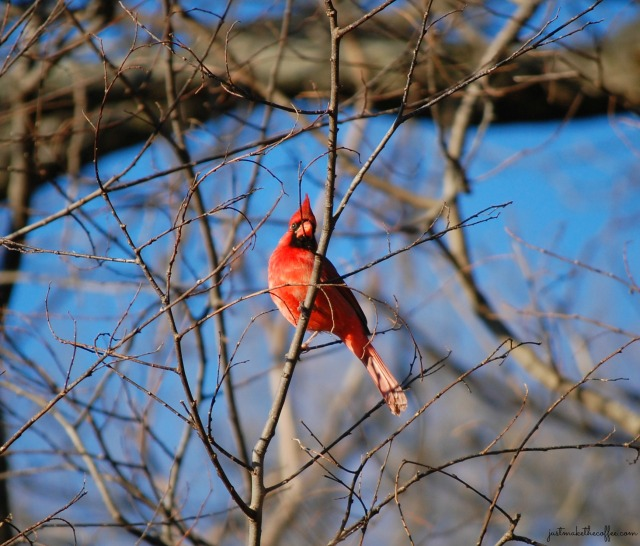 Jan2_Cardinal2