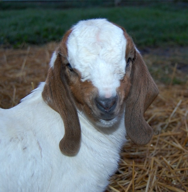 Boer_goat_baby Handsome