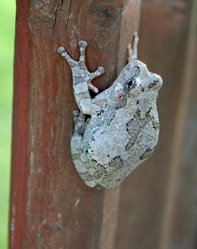 31May_Tree_Frog