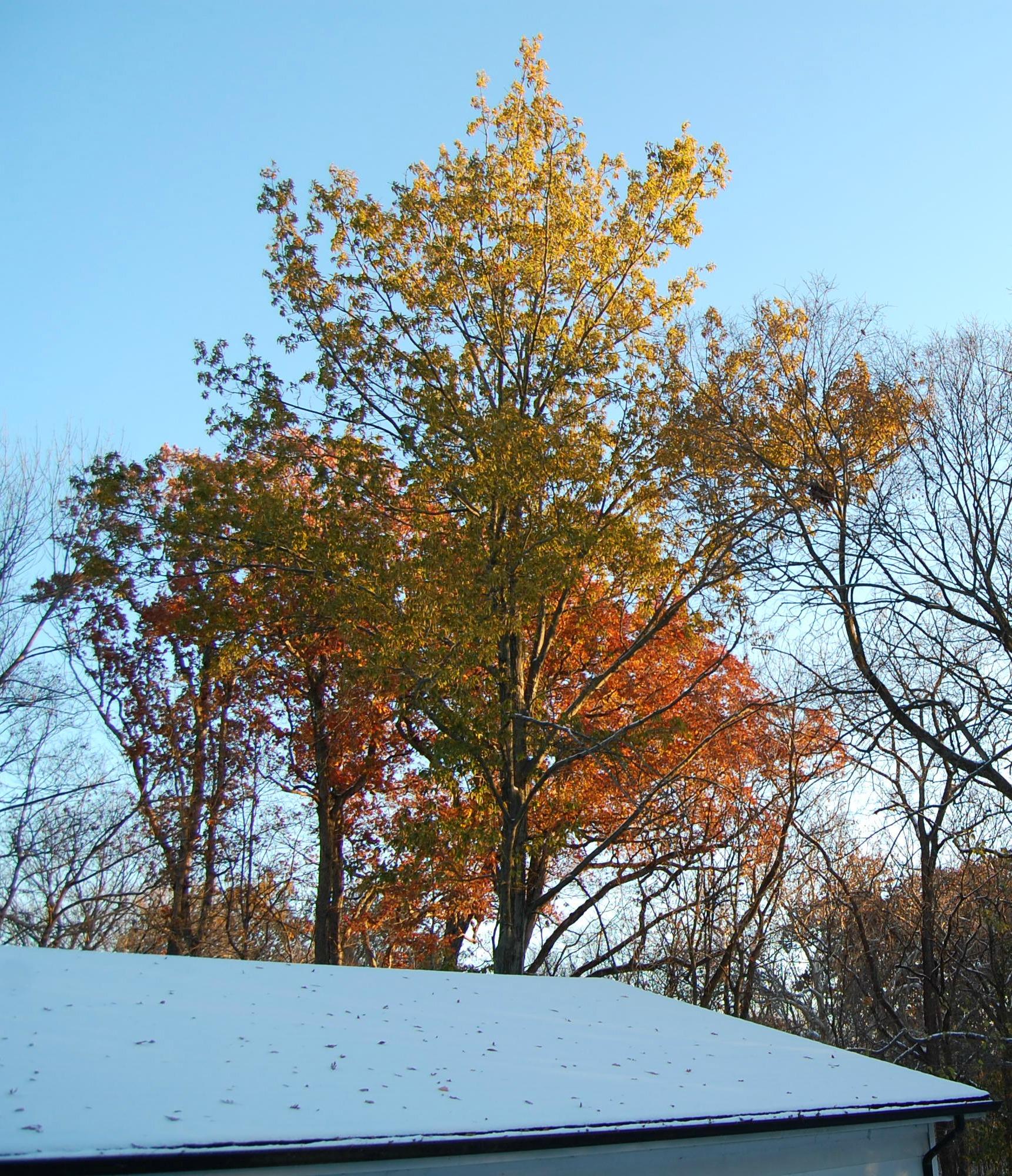 Nov10_AutumnLeaves_Snow